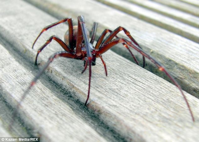 What Is The Truth About Steatoda Nobilis A Guide To